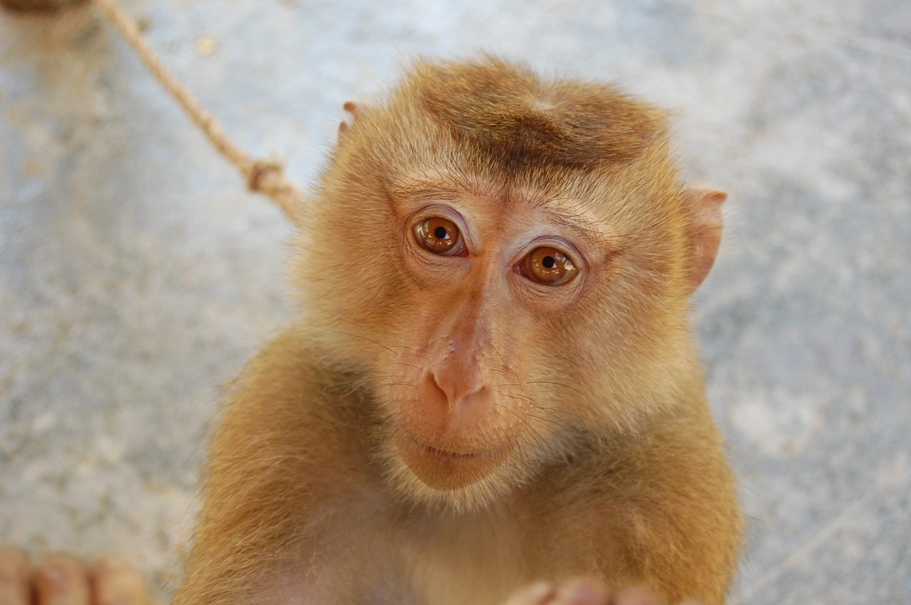 Northern Pigtail Macaque